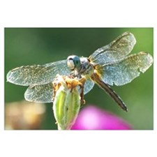 Smiley Face Dragonfly