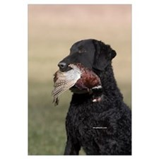 Curly Coated Retriever-6