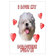 Bolognese puppy love