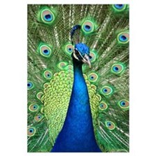 Funny Peacock Wall Art
