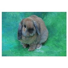 Cute Lop eared rabbit Wall Art