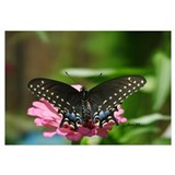 6967 Black Swallowtail