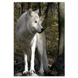 Cute White wolf Wall Art