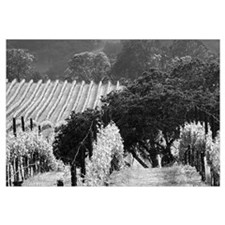 trees in vineyard black + white framed photograph