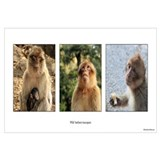 Wild Barbary Macaque