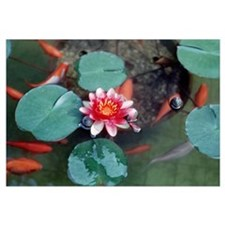 Japanese goldfish w/ water lily
