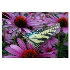 Yellow Swallowtail with Echinacea Prin