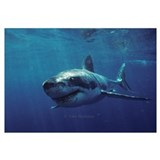 Great white shark bores in