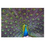 Peacock Full Color