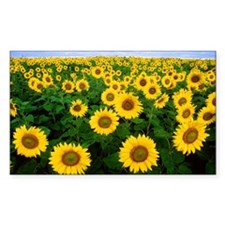 Sunflowers in field Decal