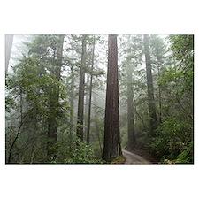 Redwood Forest Fog