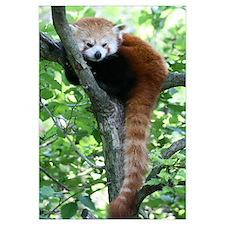 -Red Panda