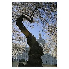 Capitol Cherry Blossom