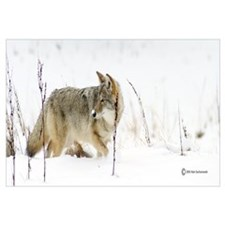 """Coyote """"Snowz"""" 14x6"""
