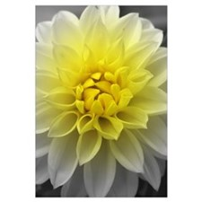Yellow White Dahlia