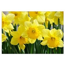 Cute Daffodil Wall Art