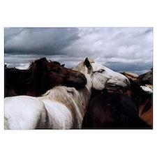 Wild Mongolian Horses