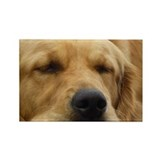 Golden Retriever sleeping Rectangle Magnet (10 pac