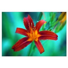 RED LILY 0016