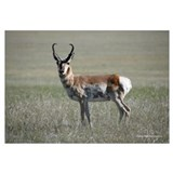2853-012 Pronghorn Buck