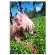 Chinese Crested In Grass Print
