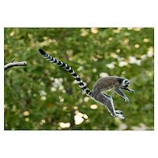 Lemur Jump