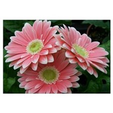 Beautiful Pink Gerbera Daisy