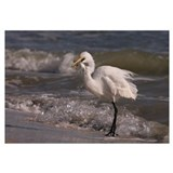 Great Egret 002 13 x 19