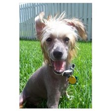 Chinese Crested Smiling
