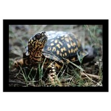 Eastern Box Turtle Print