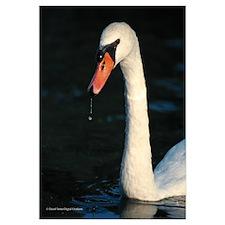 Swan photo D1068-30