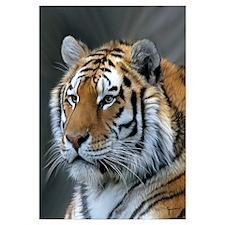 Portrait of a Tiger