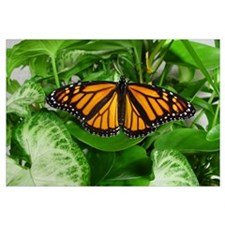 : Monarch Butterfly