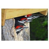3 Pileated Woodpecker babies