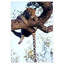 Wild African Leopard
