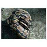 Ball Python