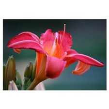 PINK LILY 0844