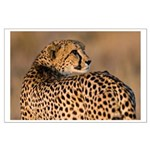 Cheetah Large Poster