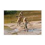 Lions Playing in Water Mini Poster Print