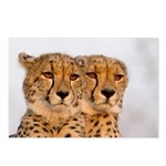 Cheetahs Postcards (Package of 8)