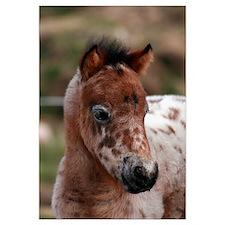 """Knabstrup foal 1"""