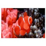 Brilliant Clownfish