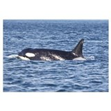 -Whale (Orca)