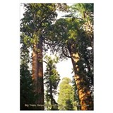 Sequoia Trees-