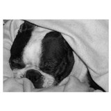 SLEEPING BOSTON TERRIER BEAUTY
