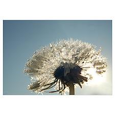 Dew Dandelion