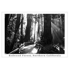 black + white california redwood trees s