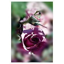 Rose Framed