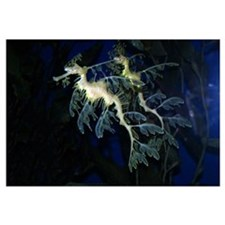 Leafy Sea Dragon Seahorses