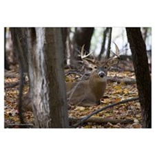 Whitetail Deer-Buck